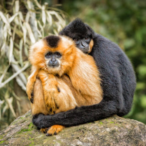 monkeys hugging as mates